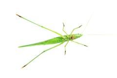 Зеленый сверчок Стоковая Фотография