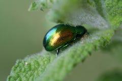 зеленый скарабей Стоковые Фото