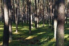 Зеленый сосновый лес во время летнего дня Стоковое Фото