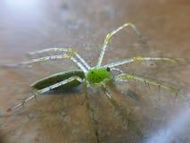 зеленый спайдер Стоковые Изображения