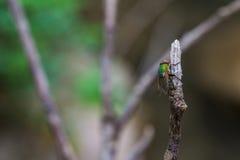 Зеленый спать мухы Стоковое Изображение RF
