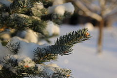 Зеленый спрус одетый в сугробах Стоковая Фотография