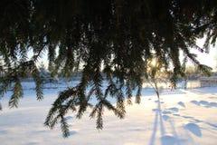 Зеленый спрус одетый в сугробах Стоковые Фото