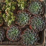 Зеленый суккулентный орнамент цветка на основании saxifrage от листьев пушистых и плотных Стоковая Фотография