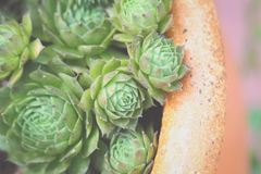 Зеленый суккулентный сад завода Стоковая Фотография