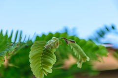 Зеленый тамаринд Стоковые Изображения