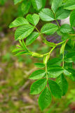 Зеленый терний выходит конец-вверх Стоковые Фотографии RF
