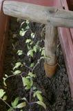 зеленый томат ростков сеянцев Стоковое Изображение RF