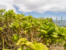 Зеленый тропический завод, Филиппины Стоковое Изображение RF