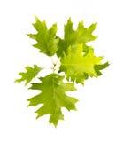 зеленый дуб Стоковая Фотография RF