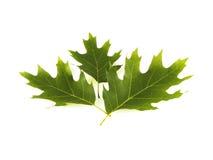 зеленый дуб Стоковые Изображения RF