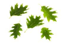 зеленый дуб Стоковое Изображение RF