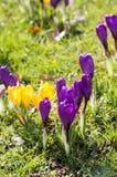 Зеленый луг вполне фиолетовых, желтых, белых крокусов, sati крокуса Стоковое Изображение RF