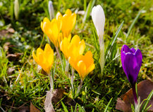 Зеленый луг вполне фиолетовых, желтых, белых крокусов, sati крокуса Стоковая Фотография