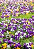 Зеленый луг вполне фиолетовых, желтых, белых крокусов, sati крокуса Стоковые Изображения