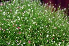 Зеленый луг с красивый малый bloomering цветет Стоковое Изображение