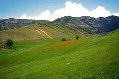 Зеленый луг с цветками мака Стоковое Изображение