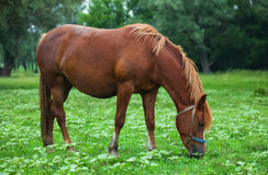 зеленый лужок лошади Стоковые Изображения RF
