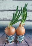 Зеленый лук растя в чашке на предпосылке деревянных доск Простой образ жизни Домашнее украшение Стоковые Фотографии RF