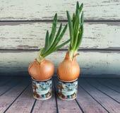 Зеленый лук растя в чашке на предпосылке деревянных доск Простой образ жизни Домашнее украшение Стоковая Фотография RF