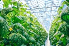 Зеленый урожай в современном парнике Стоковое Фото