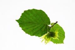 зеленый фундук Стоковое Изображение RF