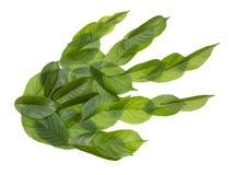 Зеленый хищник лапки Стоковые Фотографии RF