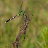 Зеленый хищник Стоковое Изображение RF