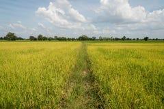 Зеленый хранят рис, который Стоковое Изображение