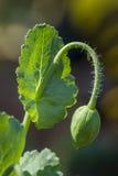 Зеленый цветок бутона мака - somniferum, Стоковые Изображения