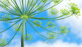 Зеленый цветок укропа Стоковое Фото