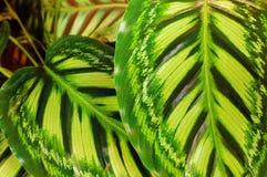 Зеленый цвет аррорута выходит предпосылка, Стоковая Фотография
