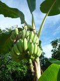зеленый цвет банана большой яркий близкий выходит вал вверх сад Таиланд Стоковое фото RF