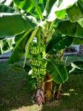 зеленый цвет банана большой яркий близкий выходит вал вверх Стоковые Изображения