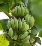 зеленый цвет банана большой яркий близкий выходит вал вверх Стоковые Изображения RF