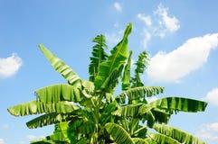 зеленый цвет банана большой яркий близкий выходит вал вверх Стоковая Фотография RF