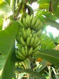зеленый цвет банана большой яркий близкий выходит вал вверх Стоковое Фото