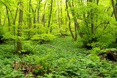 Зеленый цвет весны в смешанном лесе Стоковая Фотография RF