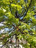 зеленый цвет ветвей выходит saplings вал Стоковые Фотографии RF