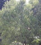 зеленый цвет ветвей выходит saplings вал Стоковое Фото