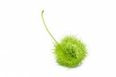 Зеленый цвет вишни Стоковые Фото