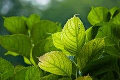 Зеленый цвет выходит в свет Стоковое Изображение