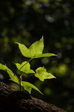 Зеленый цвет выходит клен в черную предпосылку Стоковая Фотография