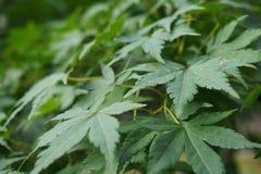 зеленый цвет выходит клен Стоковые Фотографии RF