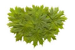 зеленый цвет выходит клен Стоковая Фотография RF