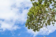 Зеленый цвет выходит на белую и голубую предпосылку облак-неба Стоковые Изображения RF