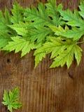 Зеленый цвет выходит на старую предпосылку деревянной доски Стоковое Фото