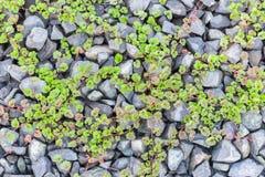 зеленый цвет выходит ползучесть на камни Стоковые Изображения