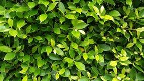 Зеленый цвет выходит предпосылка, листья дерева, листья текстуры дерева Стоковые Изображения RF