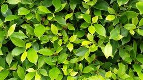 Зеленый цвет выходит предпосылка, листья дерева, листья текстуры дерева Стоковое Фото